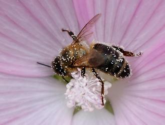 Apis mellifica, Globulix, Homöopathie, Katrin Reichelt, Honigbiene, Blüte,