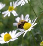 Apis, D12, Insektenstich, Schwellung, Brennen, Globuli, Homöopathie
