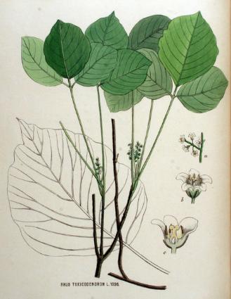 Giftsumach, Rhus toxicodendron D12, Globulix, Homöopathie, Katrin Reichelt