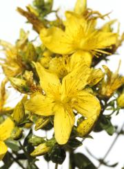 Hypericum, Johanneskraut, Homöopathie, Globulix, Katrin Reichelt, Blume