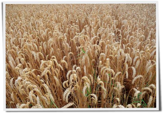 Weizen, Gluten Zöliakie, Gluten-Unverträglichkeit, Globuli, Homöopathie, Arzneimittelprüfung, Judy Coldicott, Globulix, Katrin Reichelt