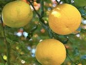 Globuli, Homöopathie, Aromatherapie, ätherische Öle, doTERRA, Yuzu, Lavendel, Zitrone, Düfte